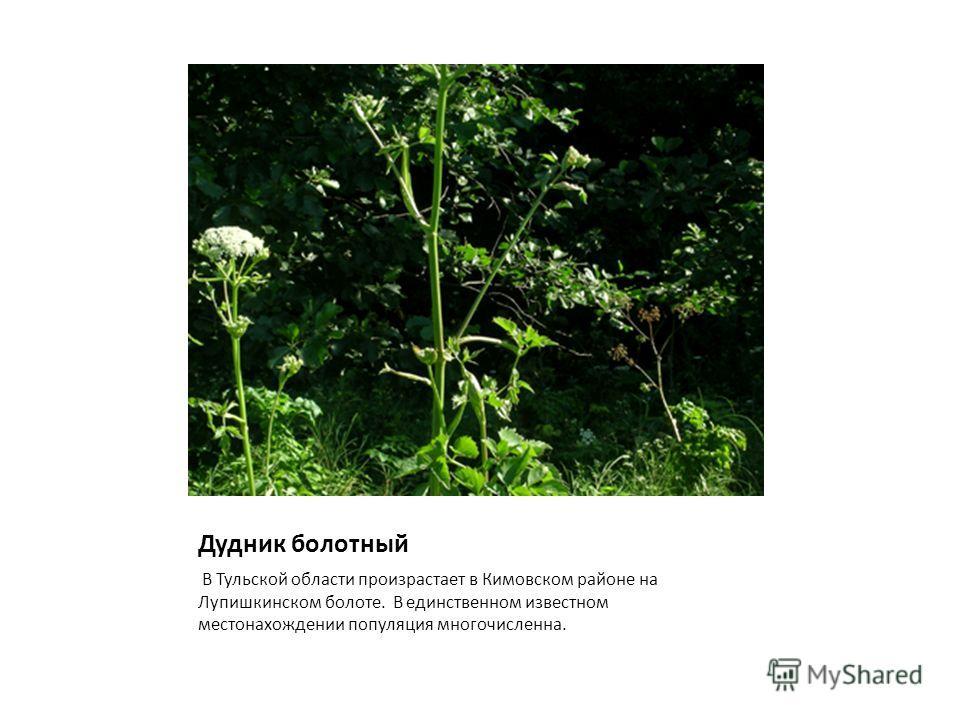 Дудник болотный В Тульской области произрастает в Кимовском районе на Лупишкинском болоте. В единственном известном местонахождении популяция многочисленна.