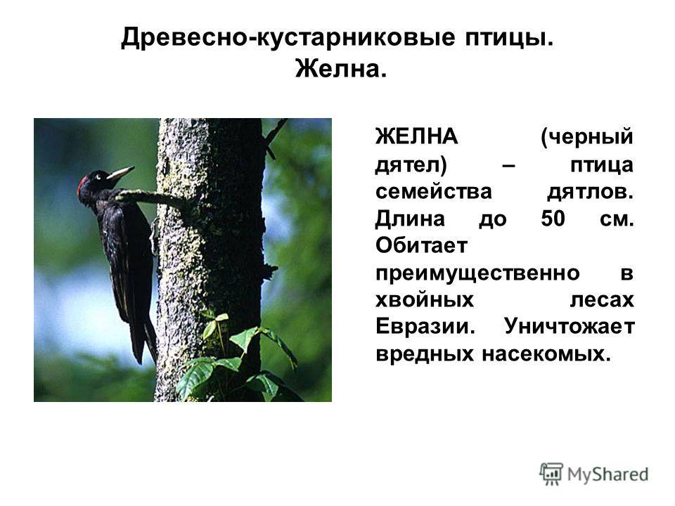 Древесно-кустарниковые птицы. Желна. ЖЕЛНА (черный дятел) – птица семейства дятлов. Длина до 50 см. Обитает преимущественно в хвойных лесах Евразии. Уничтожает вредных насекомых.