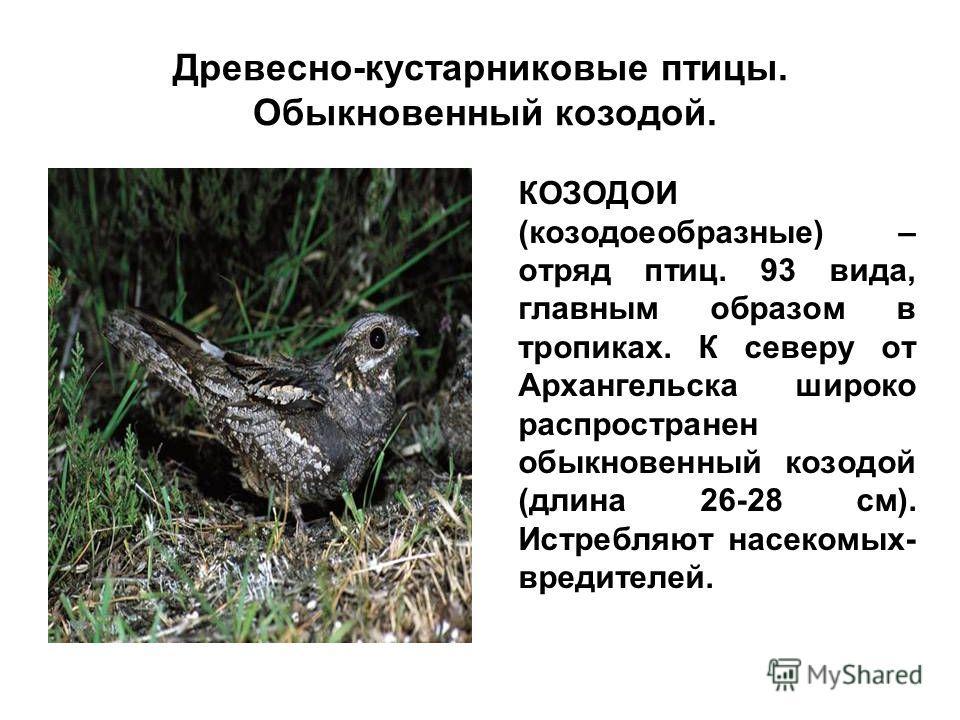 Древесно-кустарниковые птицы. Обыкновенный козодой. КОЗОДОИ (козодоеобразные) – отряд птиц. 93 вида, главным образом в тропиках. К северу от Архангельска широко распространен обыкновенный козодой (длина 26-28 см). Истребляют насекомых- вредителей.