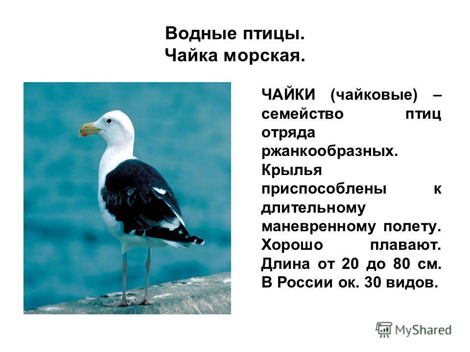 Водные птицы. Чайка морская. ЧАЙКИ (чайковые) – семейство птиц отряда ржанкообразных. Крылья приспособлены к длительному маневренному полету. Хорошо плавают. Длина от 20 до 80 см. В России ок. 30 видов.