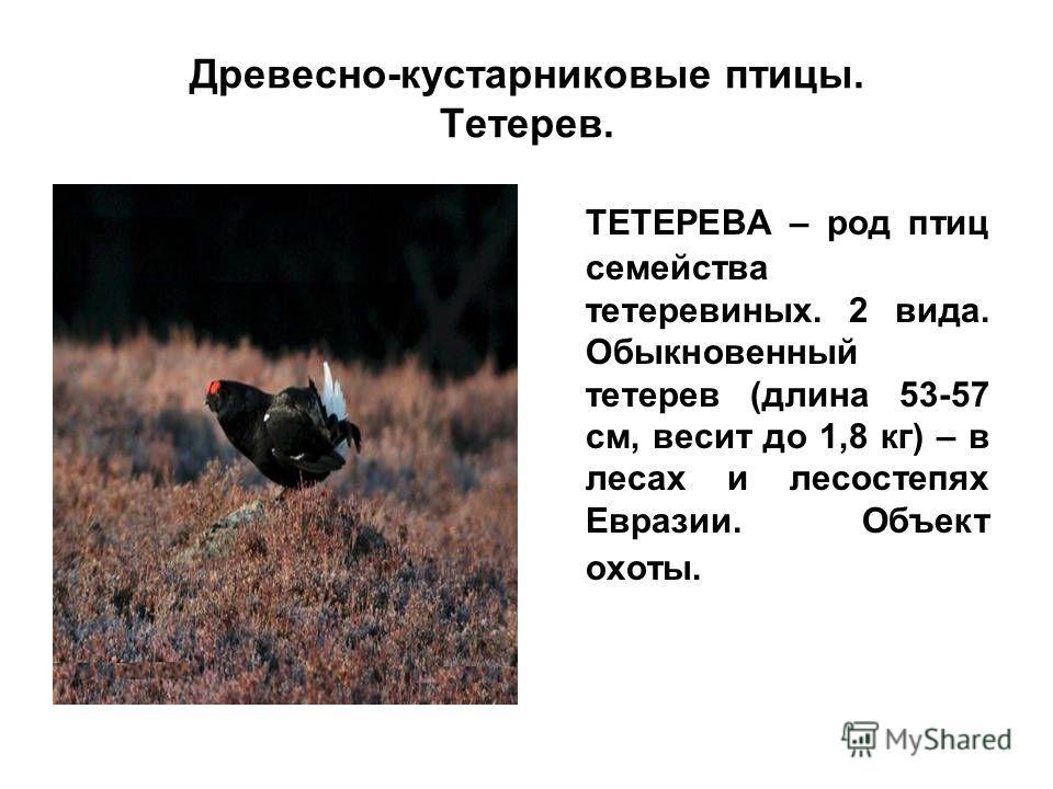 Древесно-кустарниковые птицы. Тетерев. ТЕТЕРЕВА – род птиц семейства тетеревиных. 2 вида. Обыкновенный тетерев (длина 53-57 см, весит до 1,8 кг) – в лесах и лесостепях Евразии. Объект охоты.