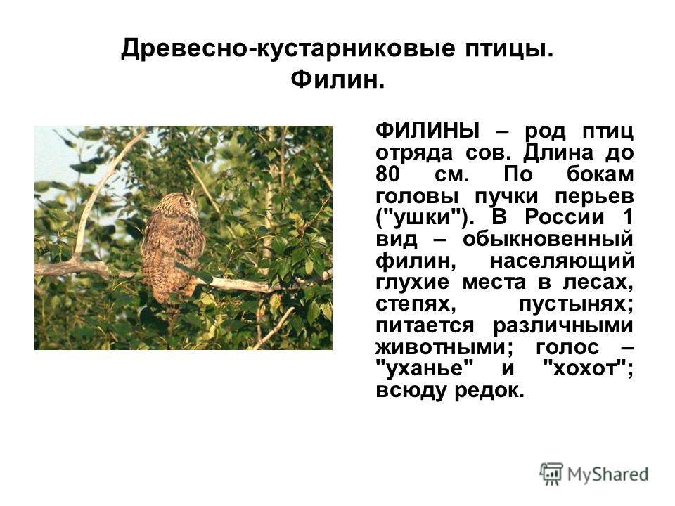 Древесно-кустарниковые птицы. Филин. ФИЛИНЫ – род птиц отряда сов. Длина до 80 см. По бокам головы пучки перьев (