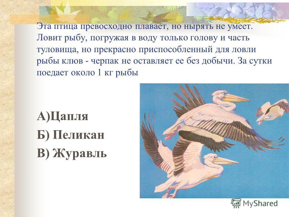 Эта птица превосходно плавает, но нырять не умеет. Ловит рыбу, погружая в воду только голову и часть туловища, но прекрасно приспособленный для ловли рыбы клюв - черпак не оставляет ее без добычи. За сутки поедает около 1 кг рыбы А)Цапля Б) Пеликан В