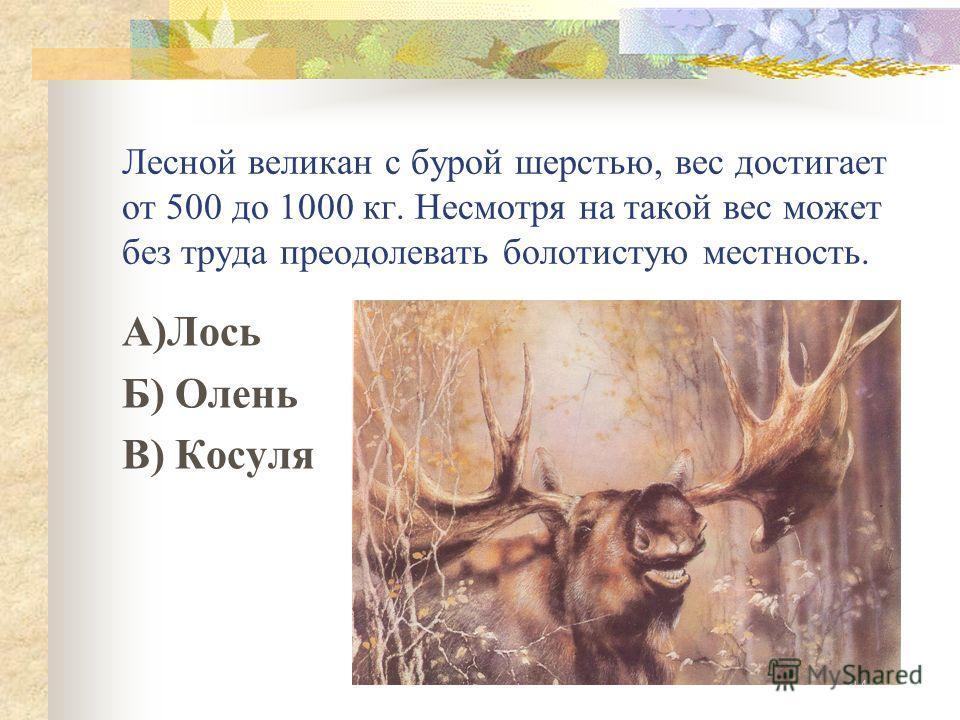 Лесной великан с бурой шерстью, вес достигает от 500 до 1000 кг. Несмотря на такой вес может без труда преодолевать болотистую местность. А)Лось Б) Олень В) Косуля