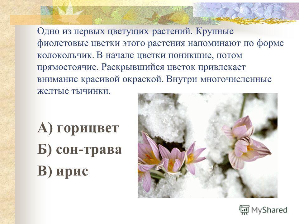 Одно из первых цветущих растений. Крупные фиолетовые цветки этого растения напоминают по форме колокольчик. В начале цветки поникшие, потом прямостоячие. Раскрывшийся цветок привлекает внимание красивой окраской. Внутри многочисленные желтые тычинки.
