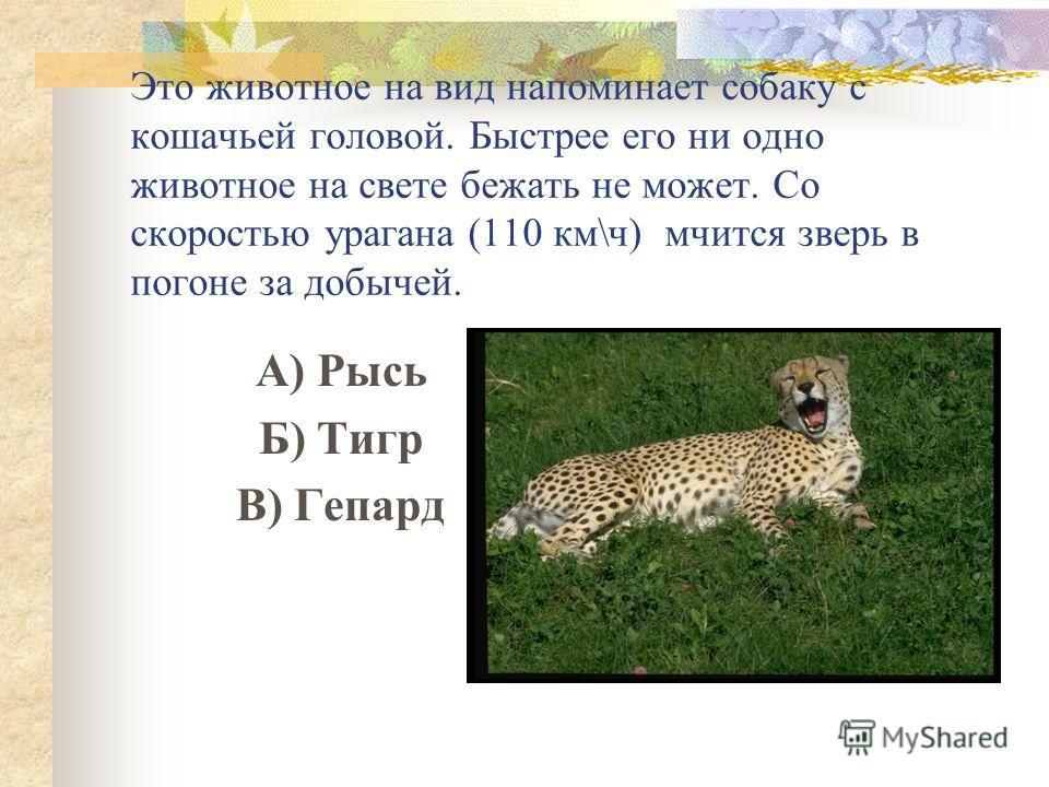 Это животное на вид напоминает собаку с кошачьей головой. Быстрее его ни одно животное на свете бежать не может. Со скоростью урагана (110 км\ч) мчится зверь в погоне за добычей. А) Рысь Б) Тигр В) Гепард