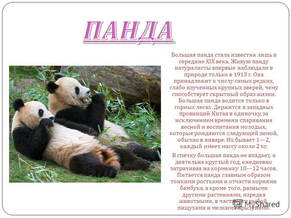 ПАНДА Большая панда стала известна лишь в середине XIX века. Живую панду натуралисты впервые наблюдали в природе только в 1913 г. Она принадлежит к числу самых редких, слабо изученных крупных зверей, чему способствует скрытный образ жизни. Большая па