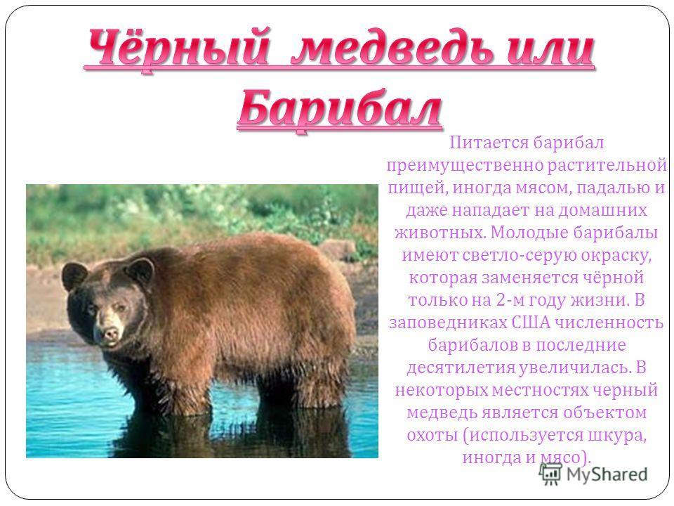 Чёрный медведь или Барибал Питается барибал преимущественно растительной пищей, иногда мясом, падалью и даже нападает на домашних животных. Молодые барибалы имеют светло - серую окраску, которая заменяется чёрной только на 2- м году жизни. В заповедн