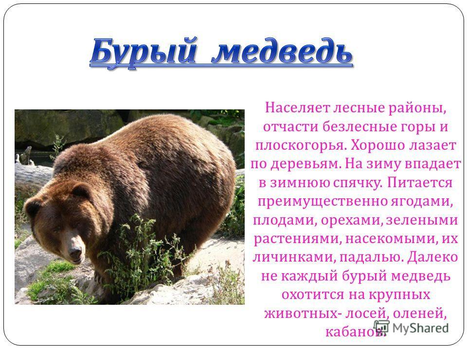 Бурый медведь Бурый медведь Населяет лесные районы, отчасти безлесные горы и плоскогорья. Хорошо лазает по деревьям. На зиму впадает в зимнюю спячку. Питается преимущественно ягодами, плодами, орехами, зелеными растениями, насекомыми, их личинками, п
