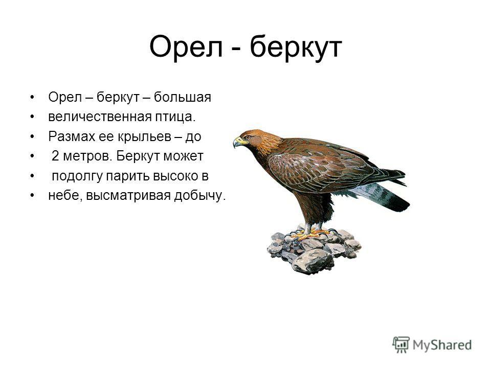 Орел - беркут Орел – беркут – большая величественная птица. Размах ее крыльев – до 2 метров. Беркут может подолгу парить высоко в небе, высматривая добычу.