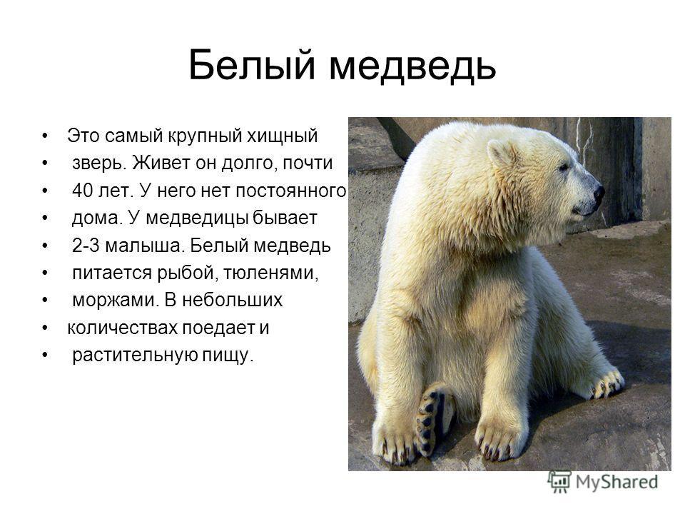 Белый медведь Это самый крупный хищный зверь. Живет он долго, почти 40 лет. У него нет постоянного дома. У медведицы бывает 2-3 малыша. Белый медведь питается рыбой, тюленями, моржами. В небольших количествах поедает и растительную пищу.