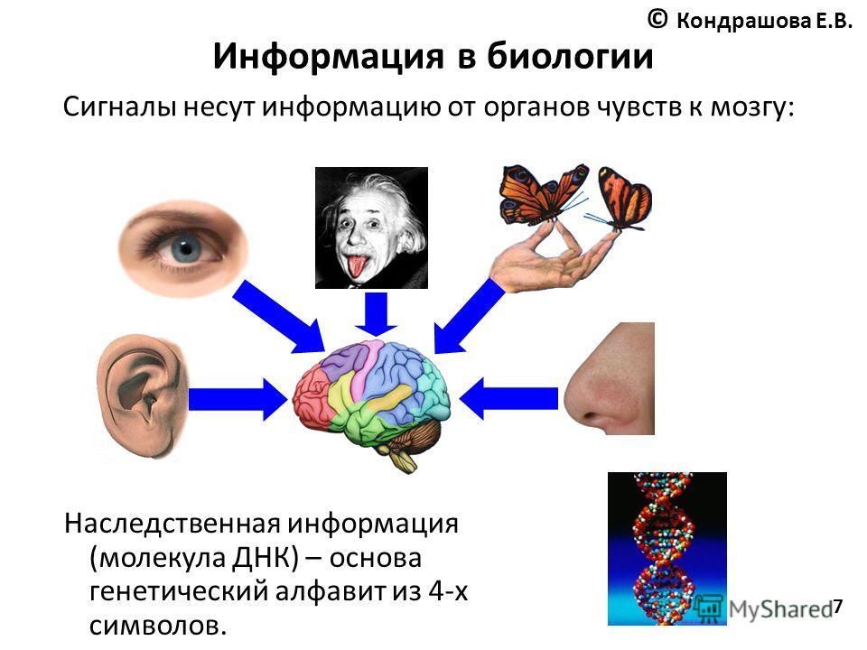 7 Информация в биологии Сигналы несут информацию от органов чувств к мозгу: Наследственная информация (молекула ДНК) – основа генетический алфавит из 4-х символов. © Кондрашова Е.В.