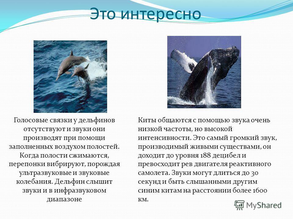 Это интересно Голосовые связки у дельфинов отсутствуют и звуки они производят при помощи заполненных воздухом полостей. Когда полости сжимаются, перепонки вибрируют, порождая ультразвуковые и звуковые колебания. Дельфин слышит звуки и в инфразвуковом