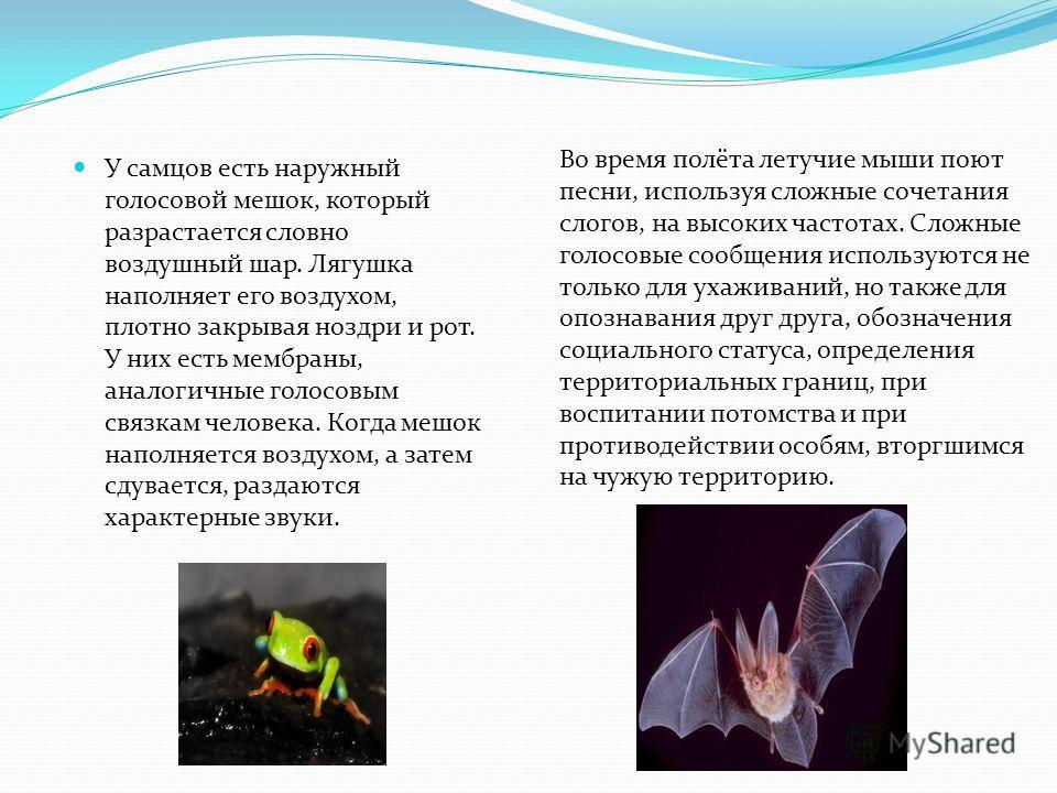У самцов есть наружный голосовой мешок, который разрастается словно воздушный шар. Лягушка наполняет его воздухом, плотно закрывая ноздри и рот. У них есть мембраны, аналогичные голосовым связкам человека. Когда мешок наполняется воздухом, а затем сд