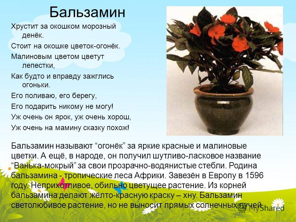 Бальзамин Хрустит за окошком морозный денёк. Стоит на окошке цветок-огонёк. Малиновым цветом цветут лепестки, Как будто и вправду зажглись огоньки. Его поливаю, его берегу, Его подарить никому не могу! Уж очень он ярок, уж очень хорош, Уж очень на ма