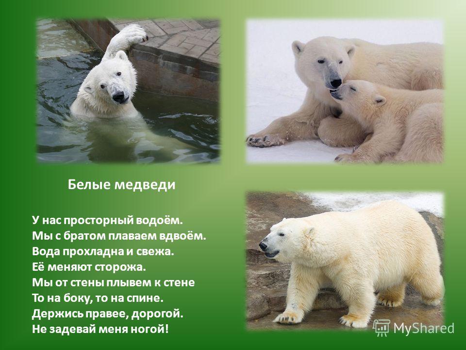 Белые медведи У нас просторный водоём. Мы с братом плаваем вдвоём. Вода прохладна и свежа. Её меняют сторожа. Мы от стены плывем к стене То на боку, то на спине. Держись правее, дорогой. Не задевай меня ногой!