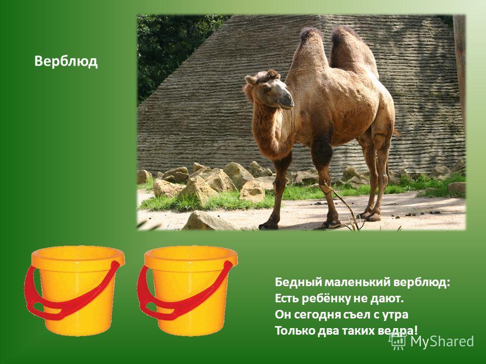 Бедный маленький верблюд: Есть ребёнку не дают. Он сегодня съел с утра Только два таких ведра! Верблюд
