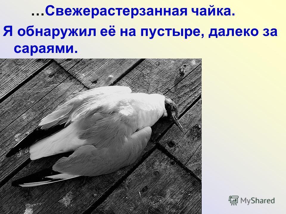 …Свежерастерзанная чайка. Я обнаружил её на пустыре, далеко за сараями.