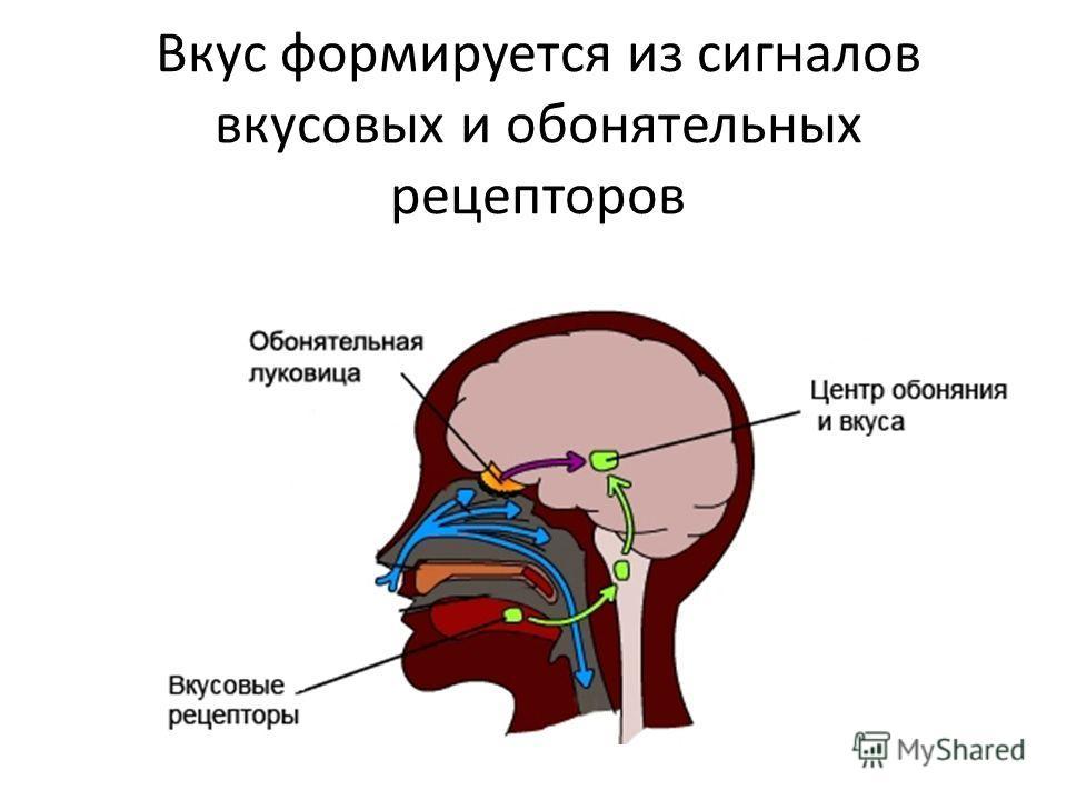 Вкус формируется из сигналов вкусовых и обонятельных рецепторов