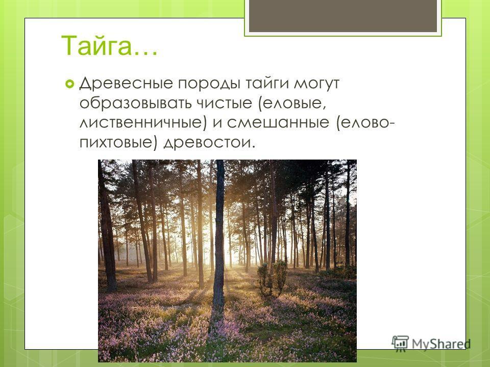 Тайга… Древесные породы тайги могут образовывать чистые (еловые, лиственничные) и смешанные (елово- пихтовые) древостои.