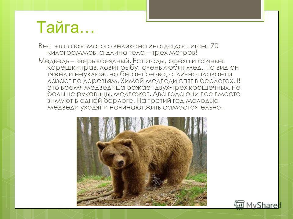 Тайга… Вес этого косматого великана иногда достигает 70 килограммов, а длина тела – трех метров! Медведь – зверь всеядный. Ест ягоды, орехи и сочные корешки трав, ловит рыбу, очень любит мед. На вид он тяжел и неуклюж, но бегает резво, отлично плавае