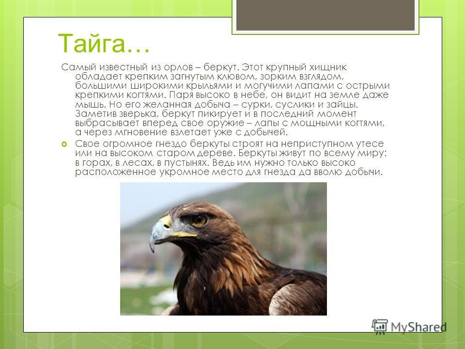 Тайга… Самый известный из орлов – беркут. Этот крупный хищник обладает крепким загнутым клювом, зорким взглядом, большими широкими крыльями и могучими лапами с острыми крепкими когтями. Паря высоко в небе, он видит на земле даже мышь. Но его желанная