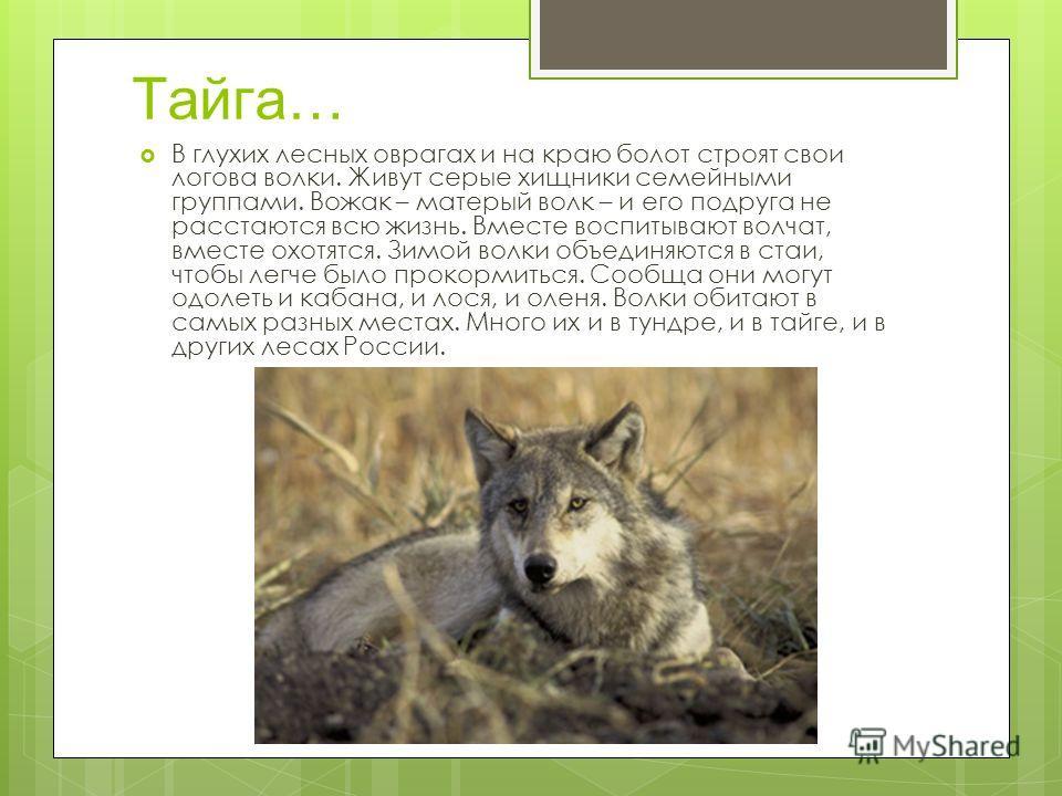 Тайга… В глухих лесных оврагах и на краю болот строят свои логова волки. Живут серые хищники семейными группами. Вожак – матерый волк – и его подруга не расстаются всю жизнь. Вместе воспитывают волчат, вместе охотятся. Зимой волки объединяются в стаи