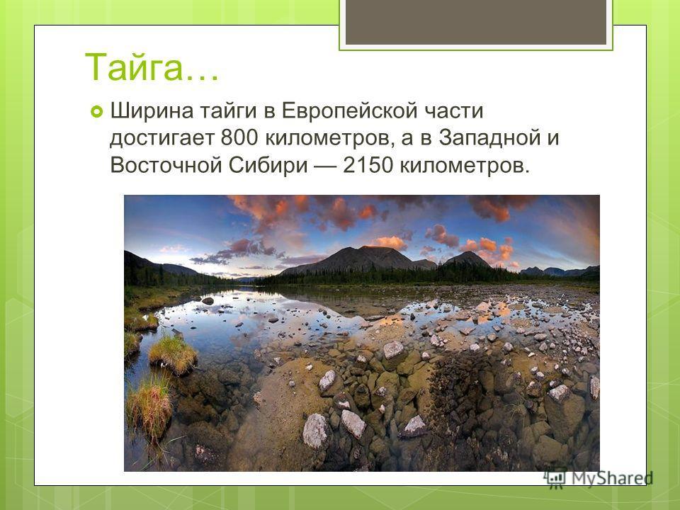 Тайга… Ширина тайги в Европейской части достигает 800 километров, а в Западной и Восточной Сибири 2150 километров.