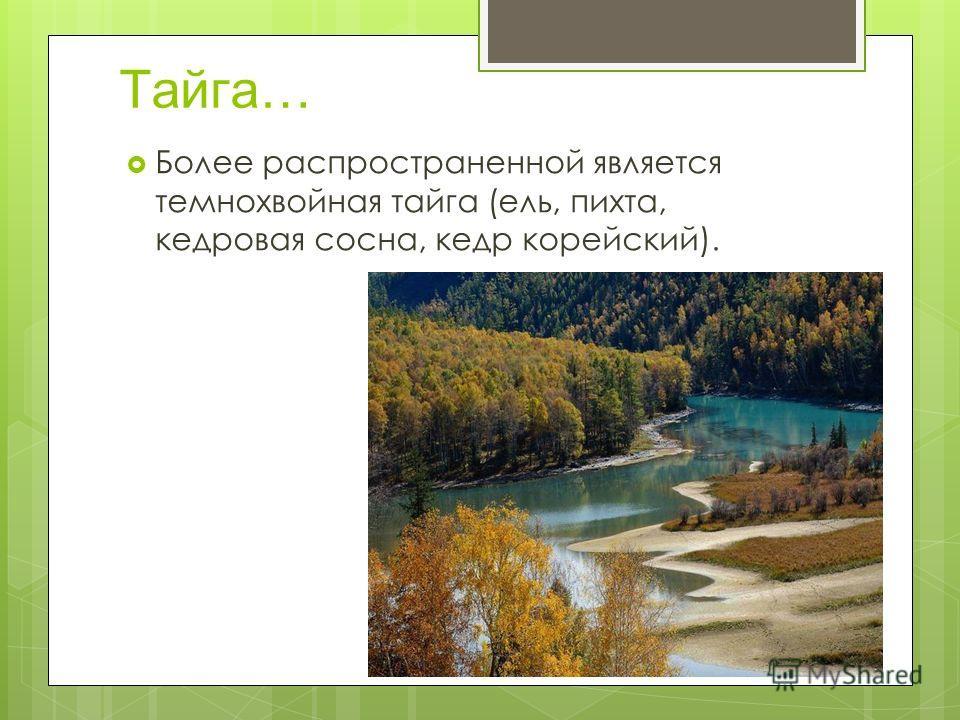Тайга… Более распространенной является темнохвойная тайга (ель, пихта, кедровая сосна, кедр корейский).