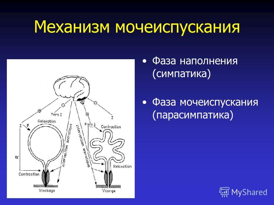Механизм мочеиспускания Фаза наполнения (симпатика) Фаза мочеиспускания (парасимпатика)