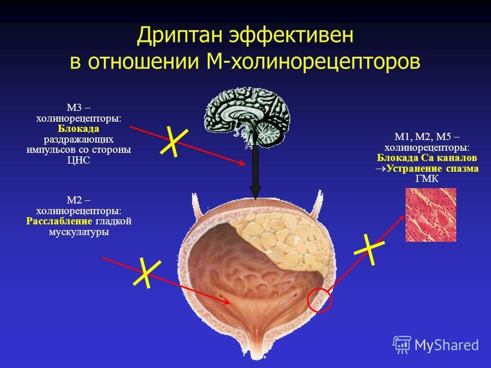 Дриптан эффективен в отношении М-холинорецепторов М1, М2, М5 – холинорецепторы: Блокада Са каналов Устранение спазма ГМК М3 – холинорецепторы: Блокада раздражающих импульсов со стороны ЦНС М2 – холинорецепторы: Расслабление гладкой мускулатуры