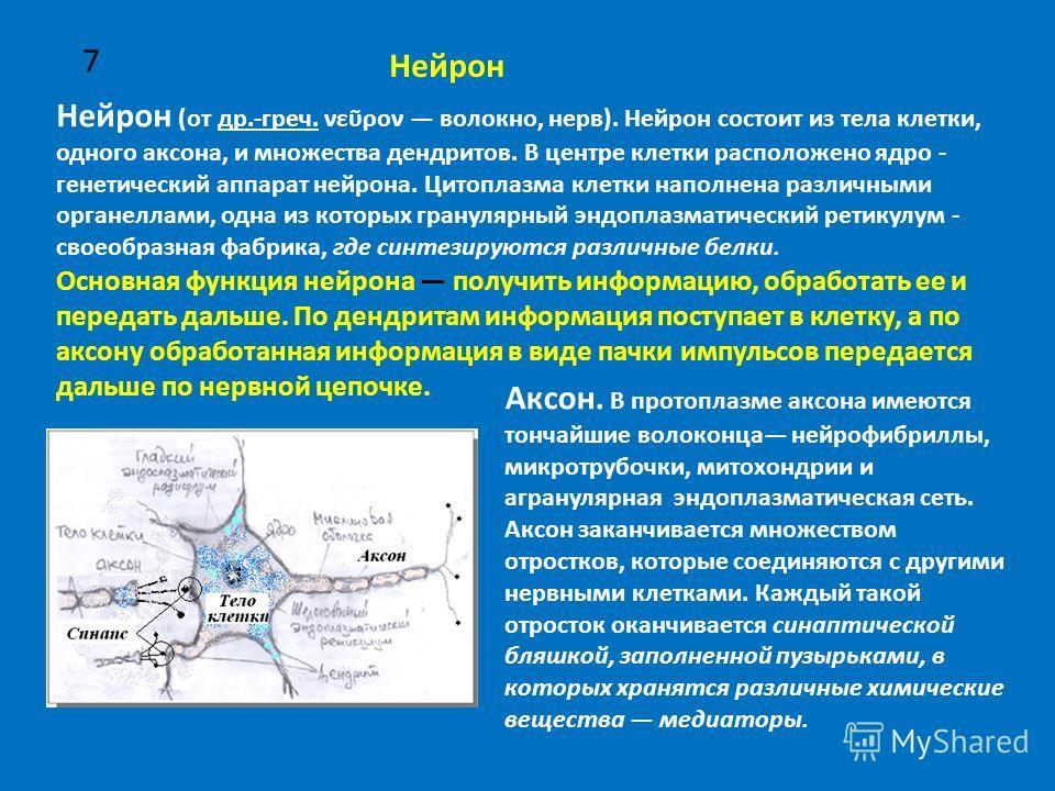 7 Нейрон (от др.-греч. νερον волокно, нерв). Нейрон состоит из тела клетки, одного аксона, и множества дендритов. В центре клетки расположено ядро - генетический аппарат нейрона. Цитоплазма клетки наполнена различными органеллами, одна из которых гра