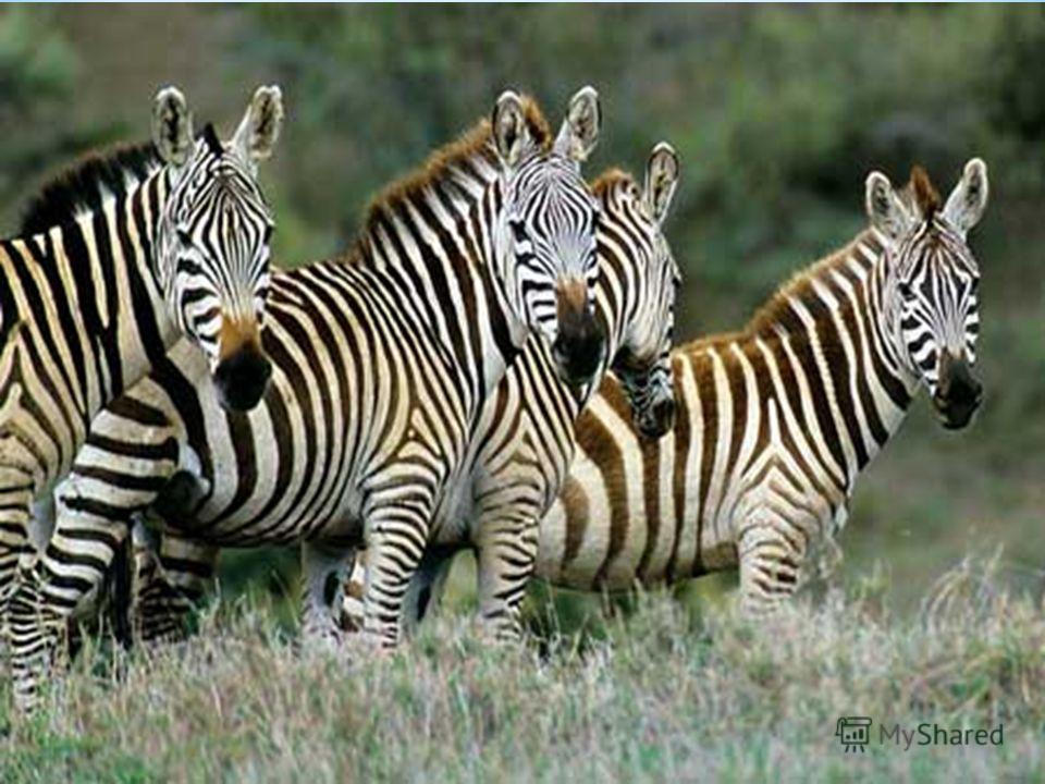 Зебры не имеют определенного сезона размножения, и жеребята появляются во все месяцы года, чаще в дождливый сезон.