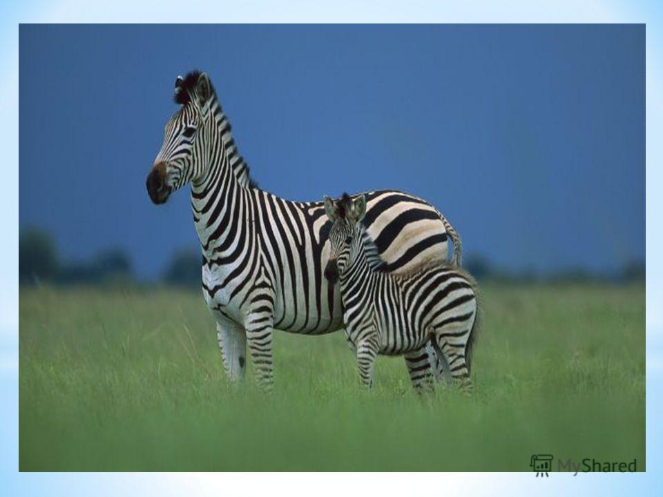 Ареал обитания. Естественной средой обитания бурчелловых зебр являются саванны юго-восточной Африки, от Анголы и востока ЮАР до Южной Эфиопии. Однако, этот вид зебр, в отличие от других своих сородичей неприхотлив и может селиться как на склонах небо