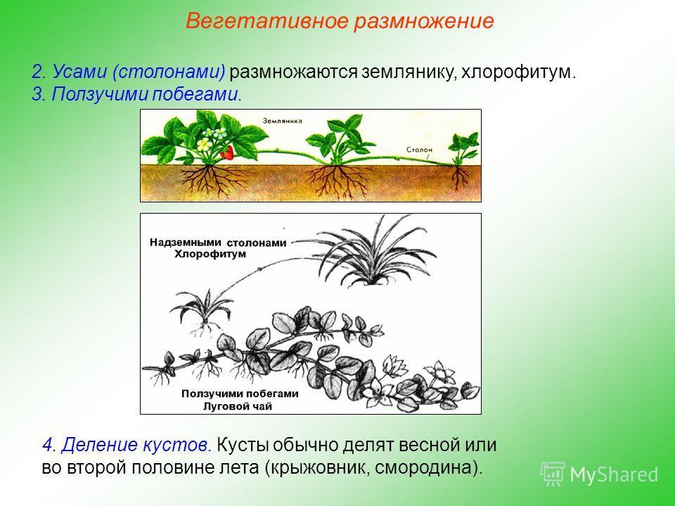 2. Усами (столонами) размножаются землянику, хлорофитум. 3. Ползучими побегами. 4. Деление кустов. Кусты обычно делят весной или во второй половине лета (крыжовник, смородина). Вегетативное размножение