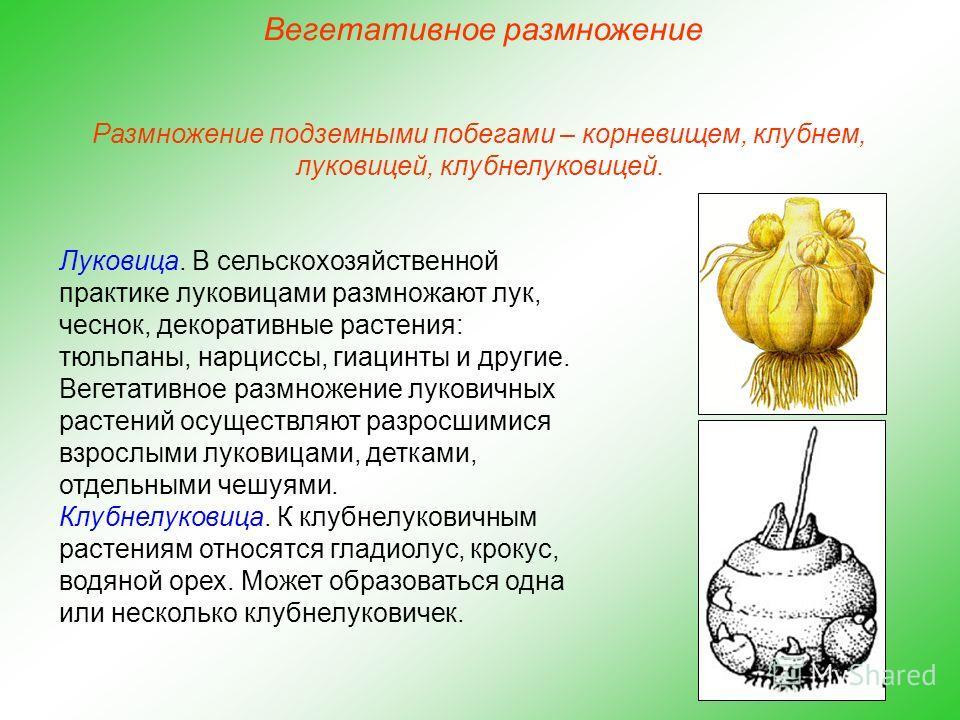 Луковица. В сельскохозяйственной практике луковицами размножают лук, чеснок, декоративные растения: тюльпаны, нарциссы, гиацинты и другие. Вегетативное размножение луковичных растений осуществляют разросшимися взрослыми луковицами, детками, отдельным