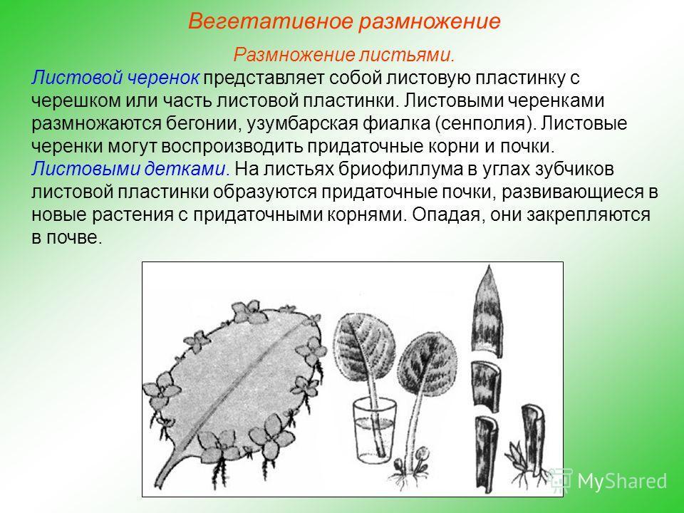 Размножение листьями. Листовой черенок представляет собой листовую пластинку с черешком или часть листовой пластинки. Листовыми черенками размножаются бегонии, узамбарская фиалка (сенполия). Листовые черенки могут воспроизводить придаточные корни и п