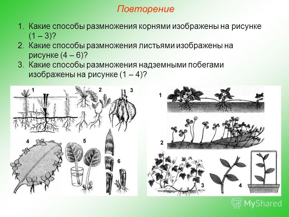 Повторение 1. Какие способы размножения корнями изображены на рисунке (1 – 3)? 2. Какие способы размножения листьями изображены на рисунке (4 – 6)? 3. Какие способы размножения надземными побегами изображены на рисунке (1 – 4)?