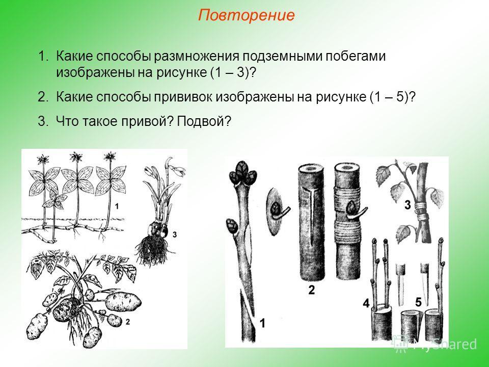 Повторение 1. Какие способы размножения подземными побегами изображены на рисунке (1 – 3)? 2. Какие способы прививок изображены на рисунке (1 – 5)? 3. Что такое привой? Подвой?