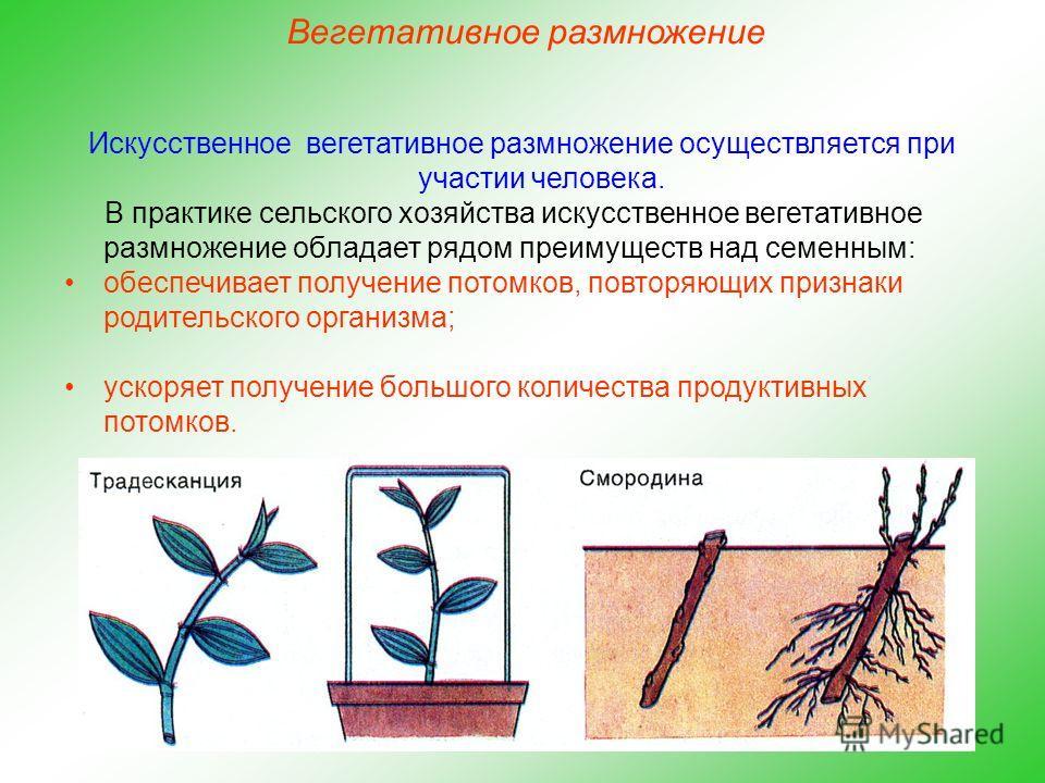 Искусственное вегетативное размножение осуществляется при участии человека. В практике сельского хозяйства искусственное вегетативное размножение обладает рядом преимуществ над семенным: обеспечивает получение потомков, повторяющих признаки родительс