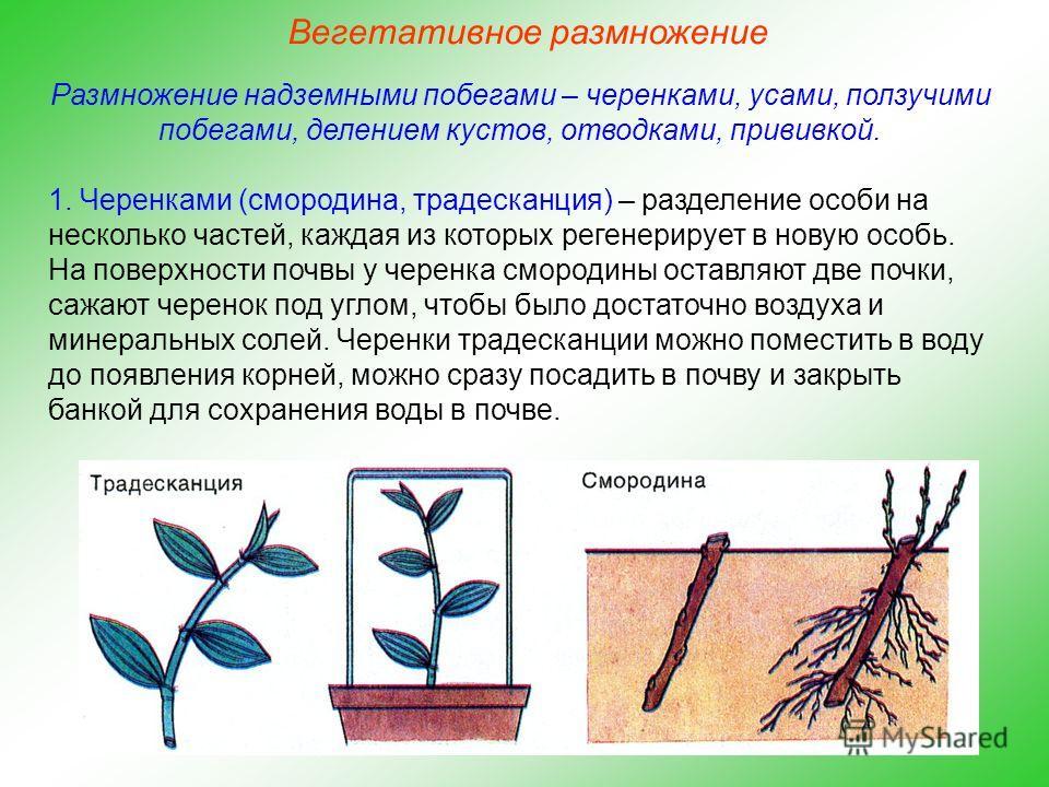 Размножение надземными побегами – черенками, усами, ползучими побегами, делением кустов, отводками, прививкой. 1. Черенками (смородина, традесканция) – разделение особи на несколько частей, каждая из которых регенерирует в новую особь. На поверхности