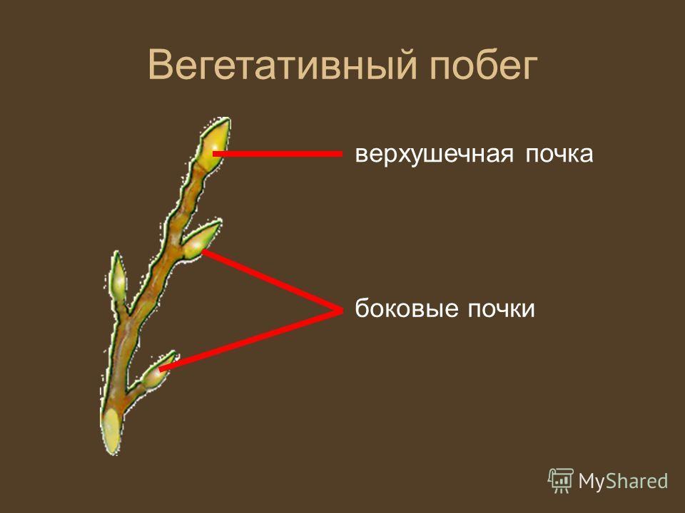 Вегетативный побег верхушечная почка боковые почки