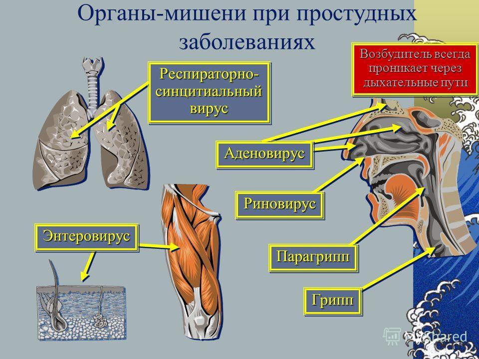 Органы-мишени при простудных заболеваниях Возбудитель всегда проникает через дыхательные пути Энтеровирус Энтеровирус Риновирус Риновирус Аденовирус Аденовирус Парагрипп Парагрипп Грипп Грипп Респираторно- синцитиальный вирус