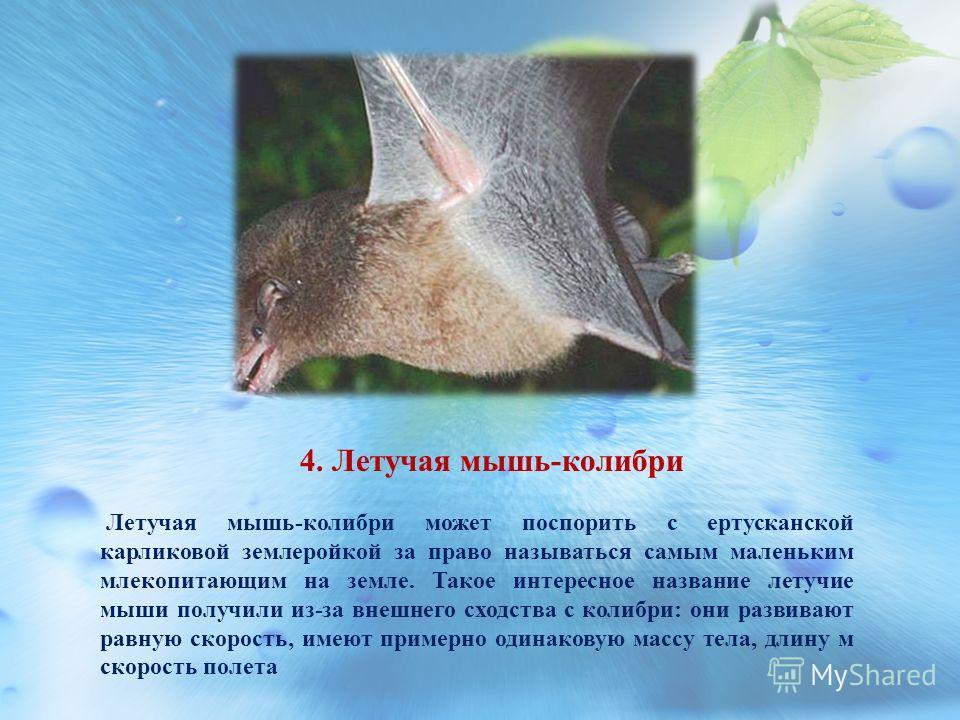 4. Летучая мышь-колибри Летучая мышь-колибри может поспорить с ертусканской карликовой землеройкой за право называться самым маленьким млекопитающим на земле. Такое интересное название летучие мыши получили из-за внешнего сходства с колибри: они разв