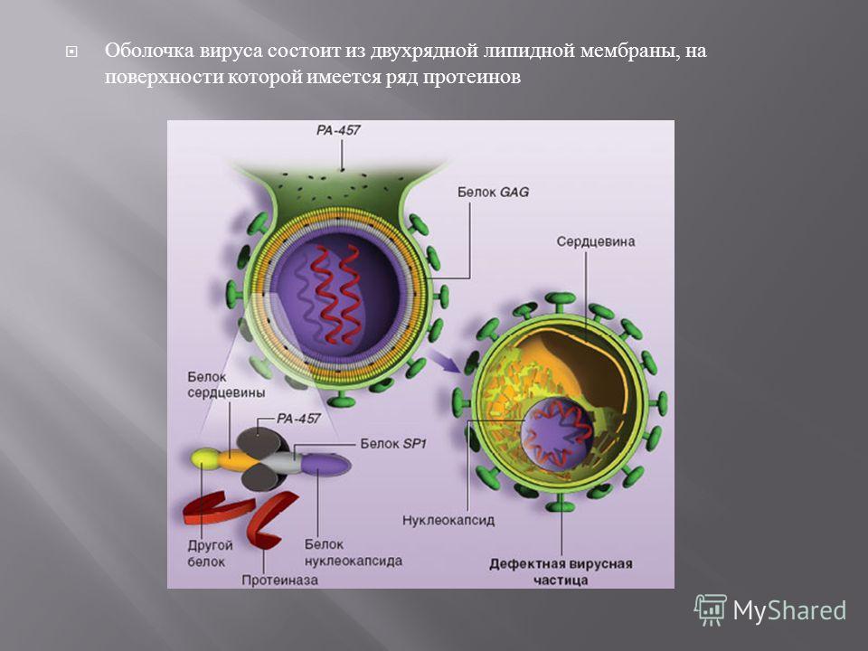 Оболочка вируса состоит из двухрядной липидной мембраны, на поверхности которой имеется ряд протеинов