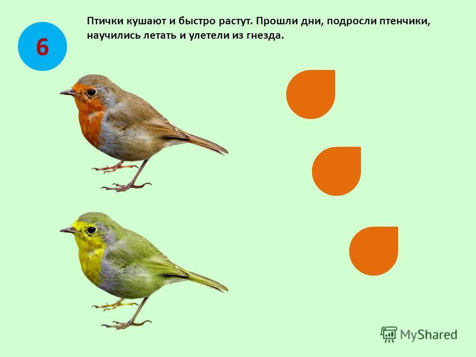 Птички кушают и быстро растут. Прошли дни, подросли птенчики, научились летать и улетели из гнезда. 6