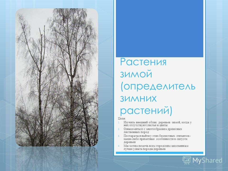 Растения зимой (определитель зимних растений) Цели: 1. Изучить внешний облик деревьев зимой, когда у них отсутствуют листья и цветы 2. Ознакомиться с многообразием древесных лиственных пород 3. Постараться найти у этих безлистных «гигантов» какие-либ