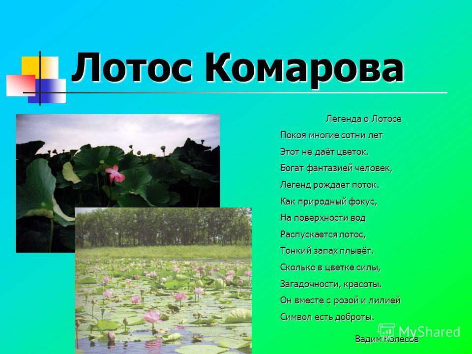 Лотос Комарова Легенда о Лотосе Легенда о Лотосе Покоя многие сотни лет Этот не даёт цветок. Богат фантазией человек, Легенд рождает поток. Как природный фокус, На поверхности вод Распускается лотос, Тонкий запах плывёт. Сколько в цветке силы, Загадо