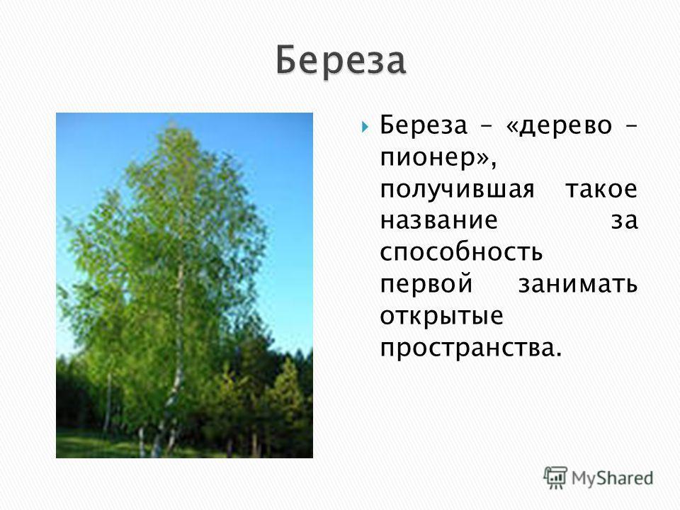 Береза – «дерево – пионер», получившая такое название за способность первой занимать открытые пространства.