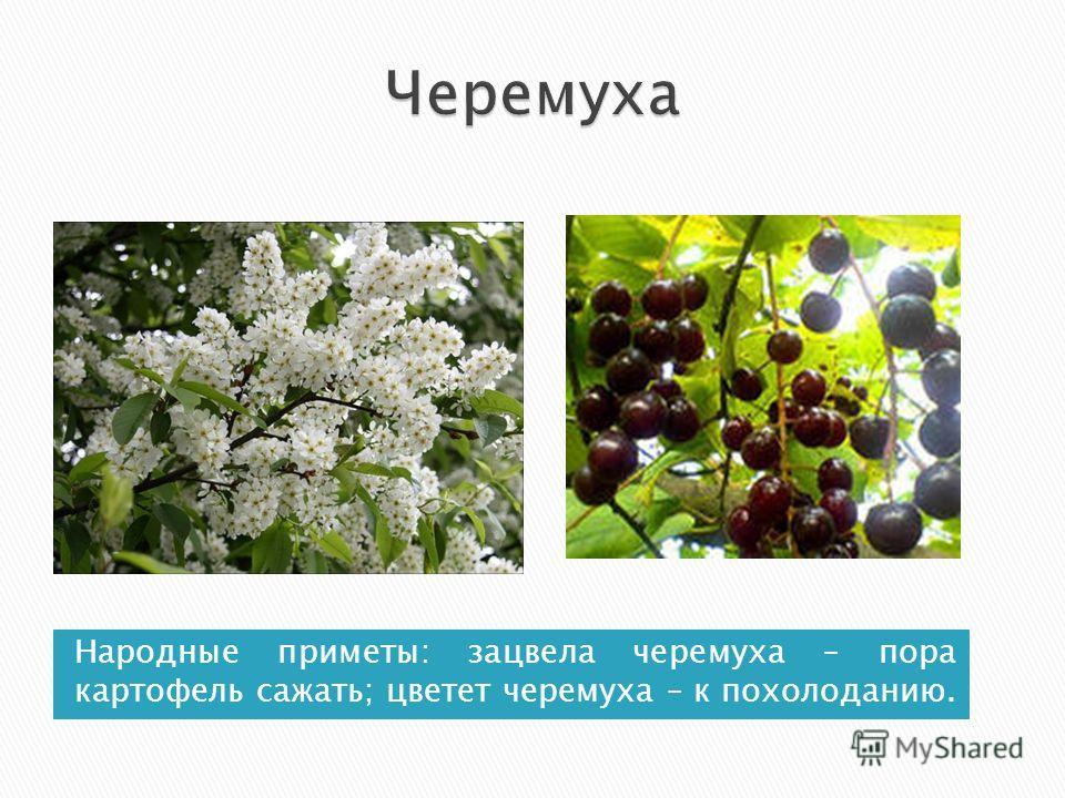 Народные приметы: зацвела черемуха – пора картофель сажать; цветет черемуха – к похолоданию.